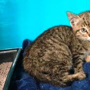 生後2か月位の子猫(女の子)