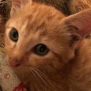 生後2か月の子猫(男の子)