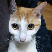 怖がりだけど、猫同士は仲良しな「ちづる」ちゃん 茶白柄