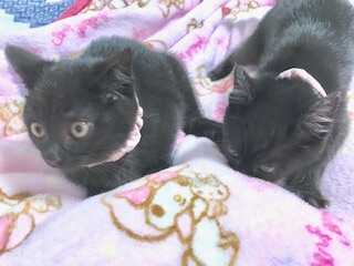 黒猫姉妹(2ヶ月) 猫親様募集中