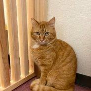 【保護猫】たら推定4歳♂茶トラ