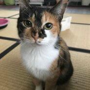 【保護猫】おめめくりくり三毛猫しゃーこちゃん♀
