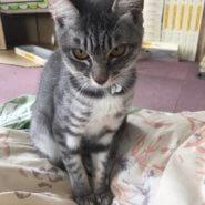推定8ヶ月ひぃちゃん♀シルバーサバトラ美猫さんです♪