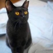 もうすぐ1歳、奥ゆかしい黒猫セシルちゃん