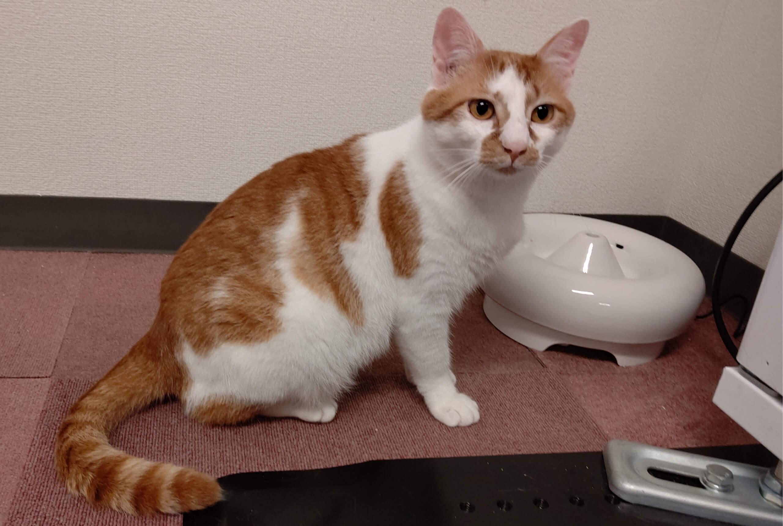 【保護猫】茶白にゃんにゃ♂元気いっぱいです