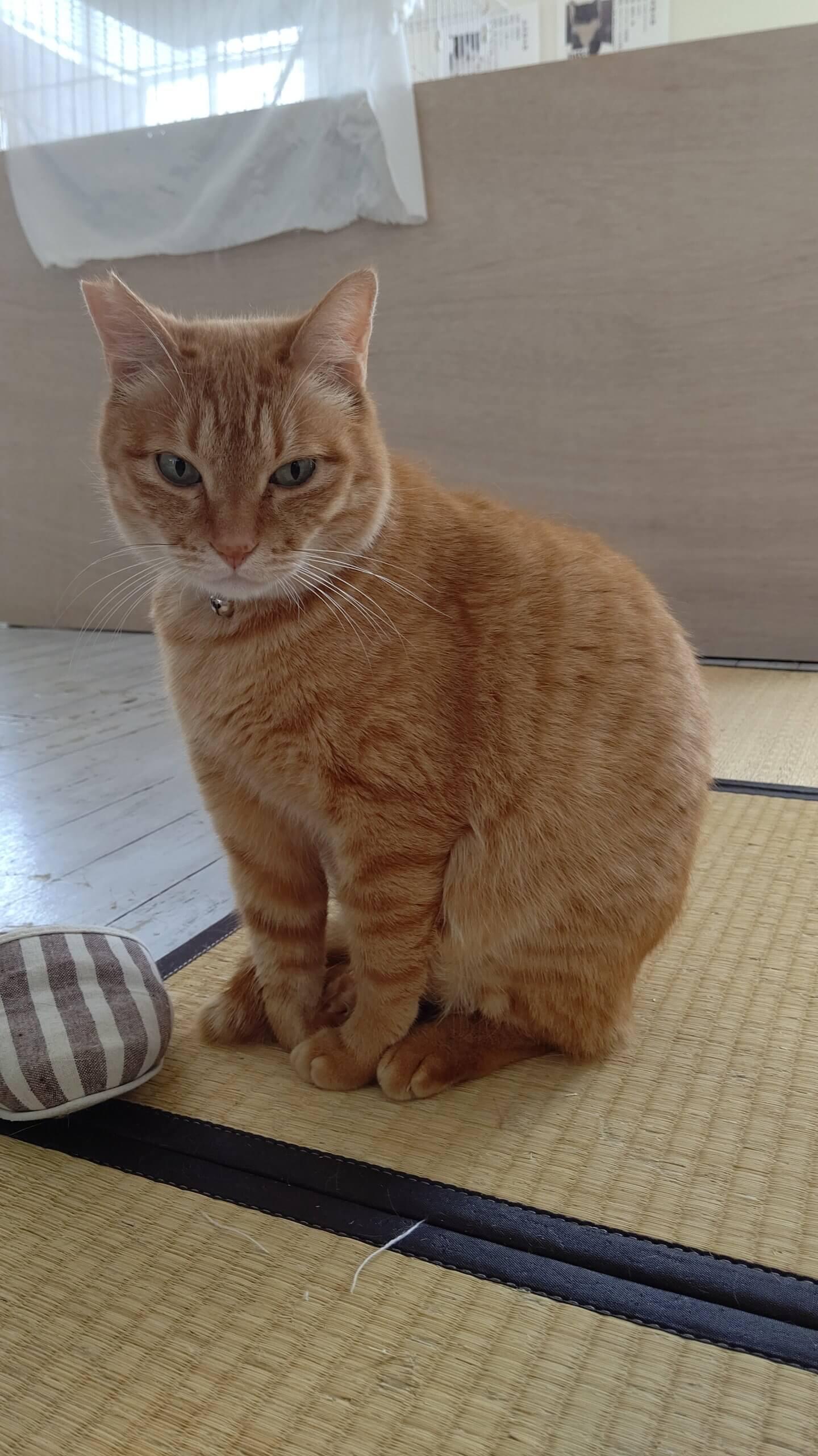 【保護猫】茶トラちー♂丸々かわいい男の子です