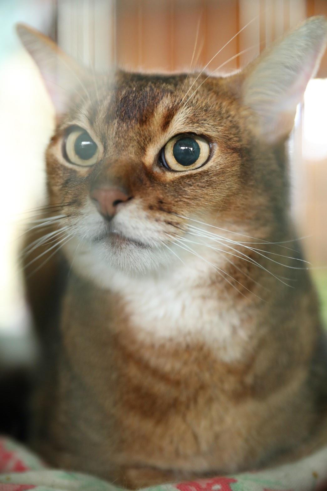 可愛いアビシニアンMIXの猫ちゃん