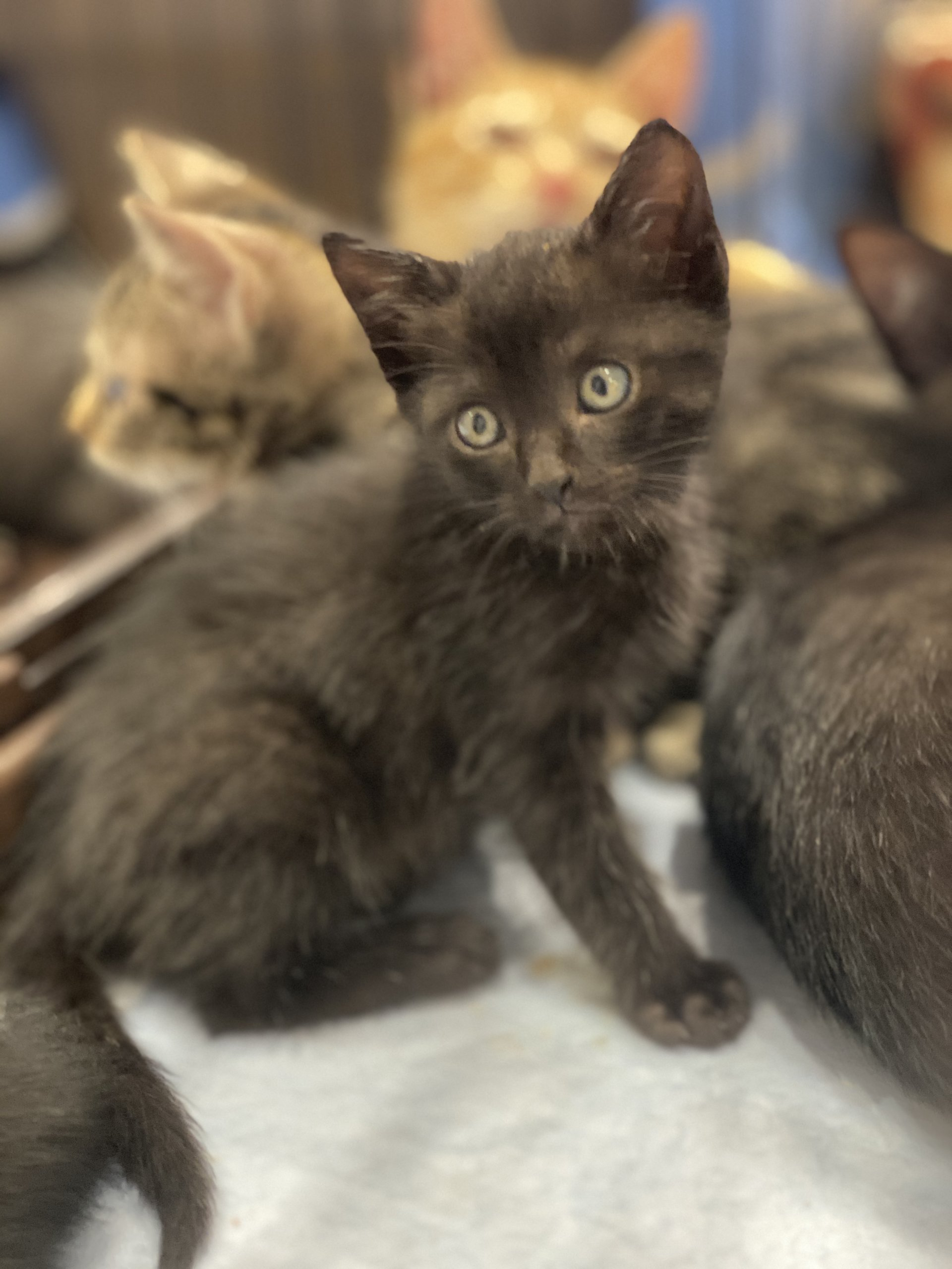 小さい黒猫[緊急里親募集中]