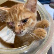 生後1ヶ月前後の子猫 男の子