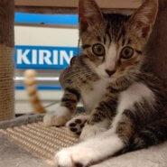 【保護猫】ジェミニー♂推定6ヶ月キジトラ白