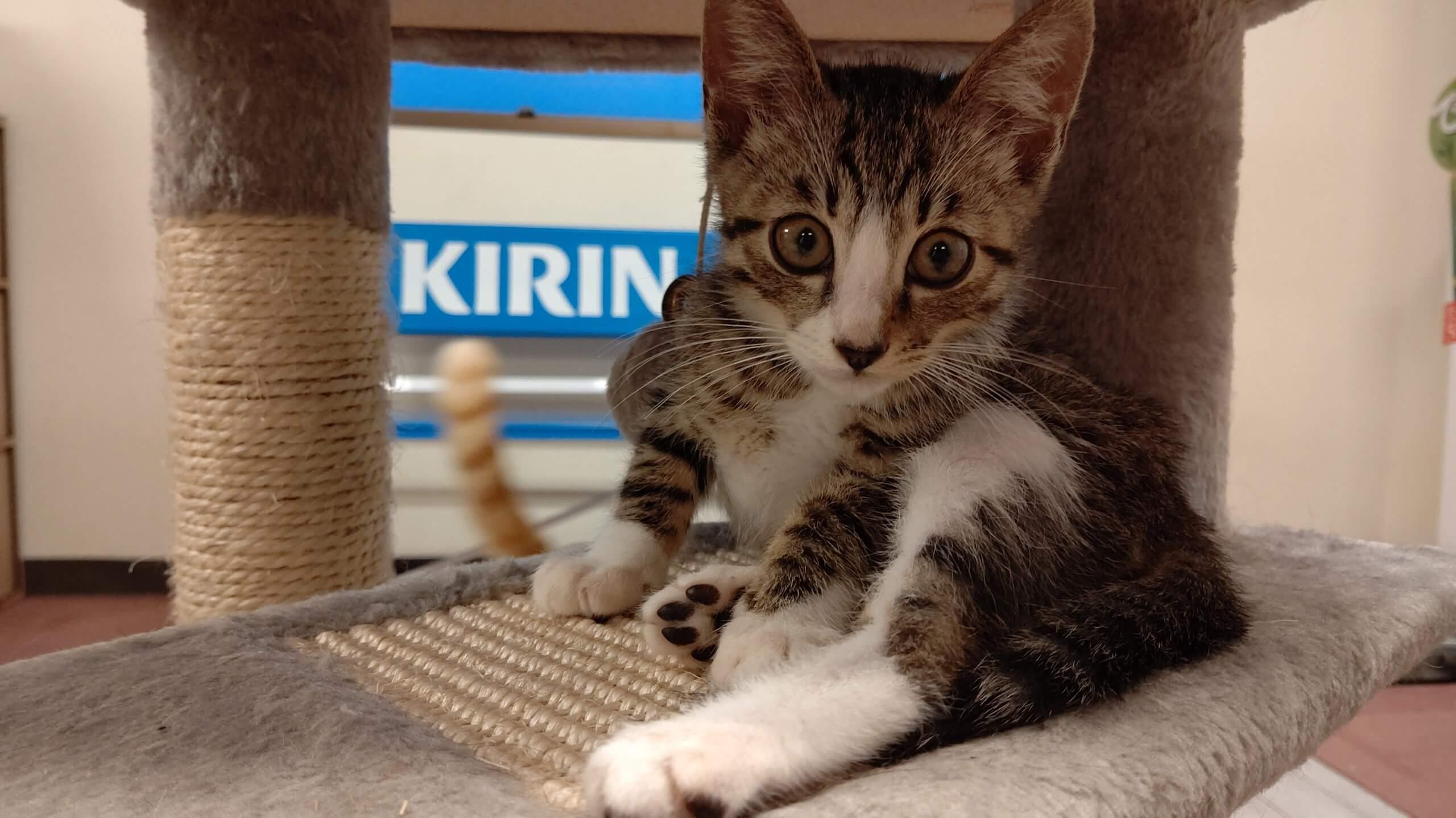 【保護猫】ジェミニー♂キジトラ子猫