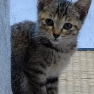 【保護猫】ごんごん♀推定5ヶ月キジトラ