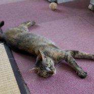 【保護猫】飴ちゃん♀推定2歳キジサビ