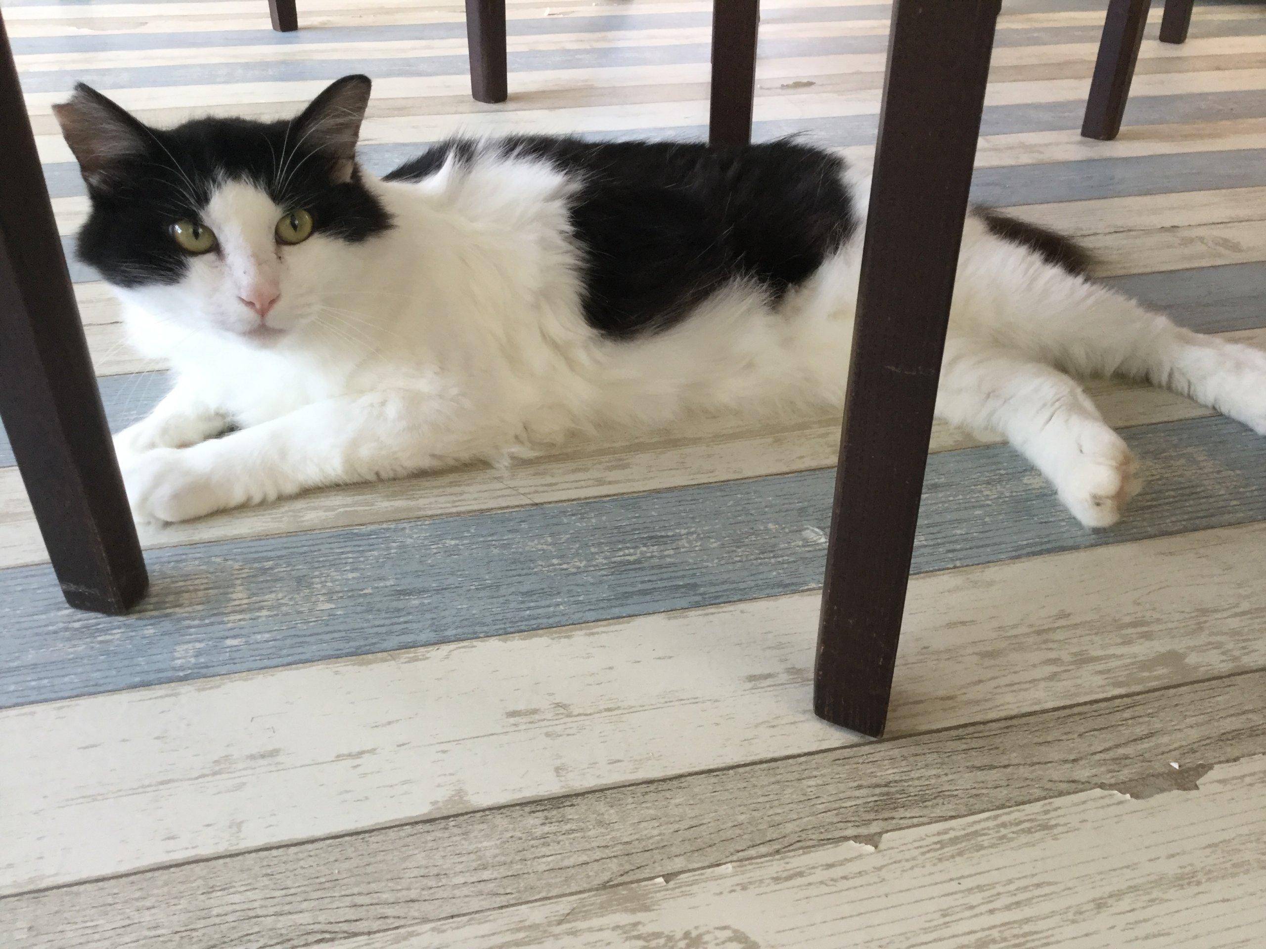 【保護猫】おとうさん♂推定1歳ハチワレ