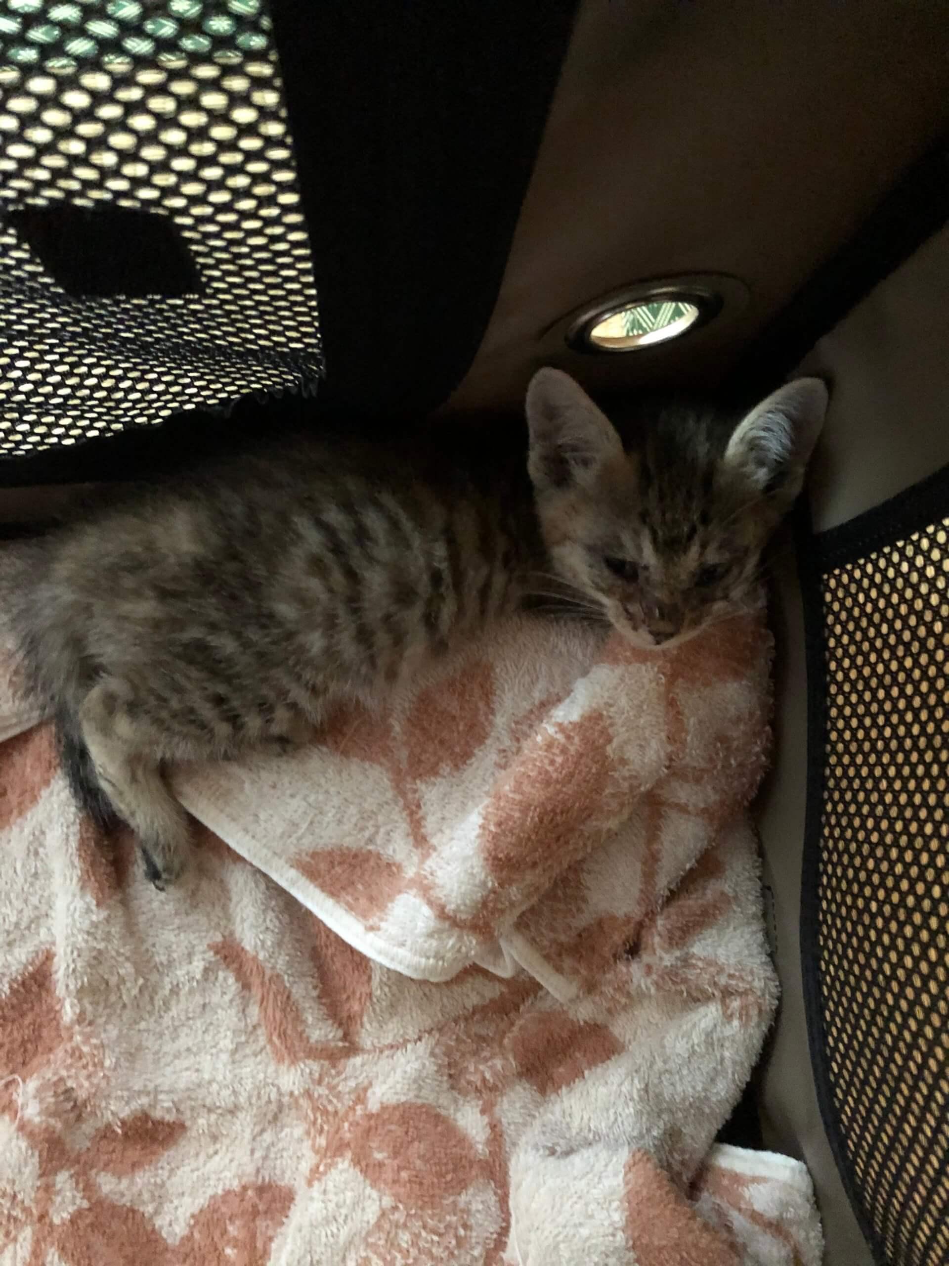 生後1ヶ月くらいの子猫の女の子