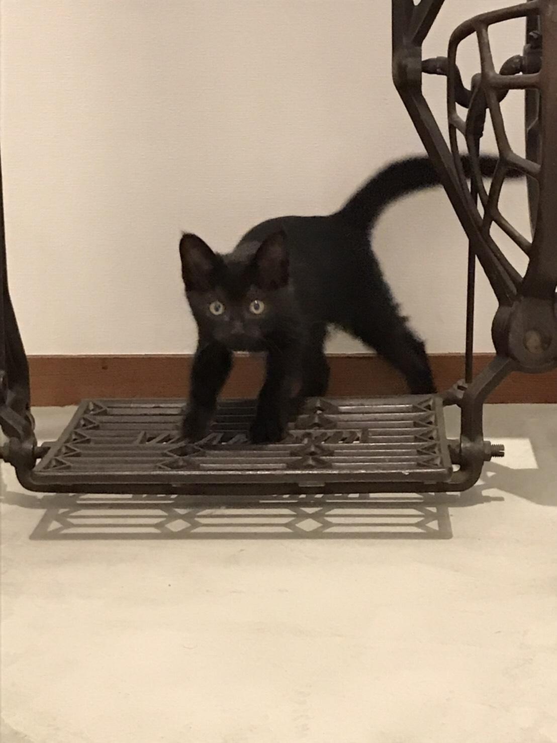 黒猫の女の子生後2〜3ヶ月