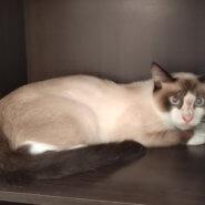 【保護猫】パン♂推定9ヶ月シャム系
