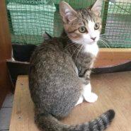 【保護猫】むすび♀推定5ヶ月キジトラ白