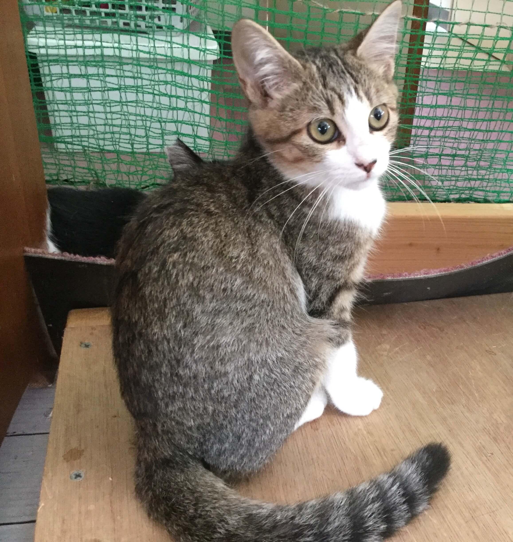 【保護猫】むすび♀推定3ヶ月キジトラ白