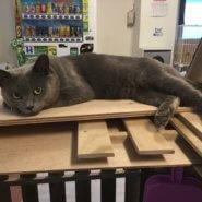 【保護猫】ロシアン推定2歳♂グレー