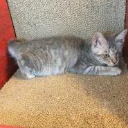 【保護猫】ミモザ推定6ヶ月♀サバトラ