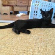 【保護猫】ちっち♂推定4ヶ月黒猫
