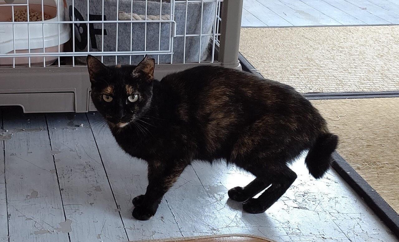 【保護猫】すずな♀推定1歳サビ猫