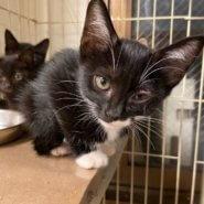 【保護猫】桔梗♀推定2ヶ月黒白靴下猫