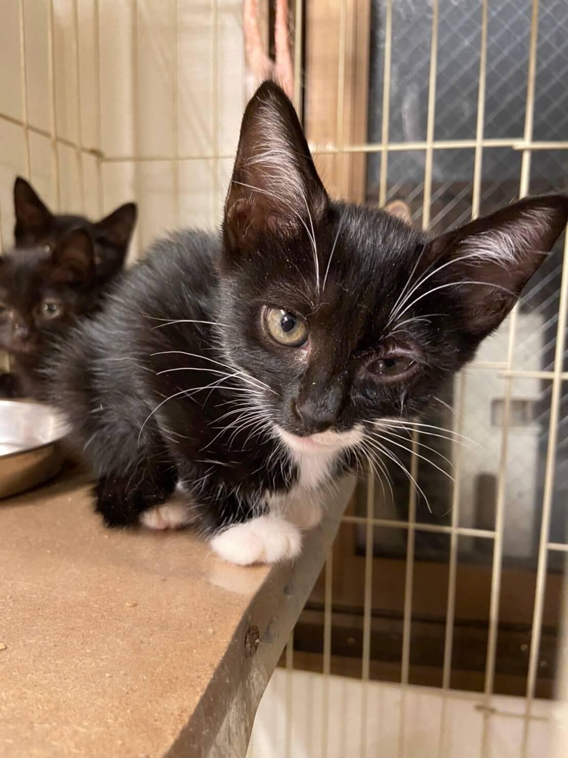 【保護猫】桔梗推定3ヶ月♀黒白靴下猫