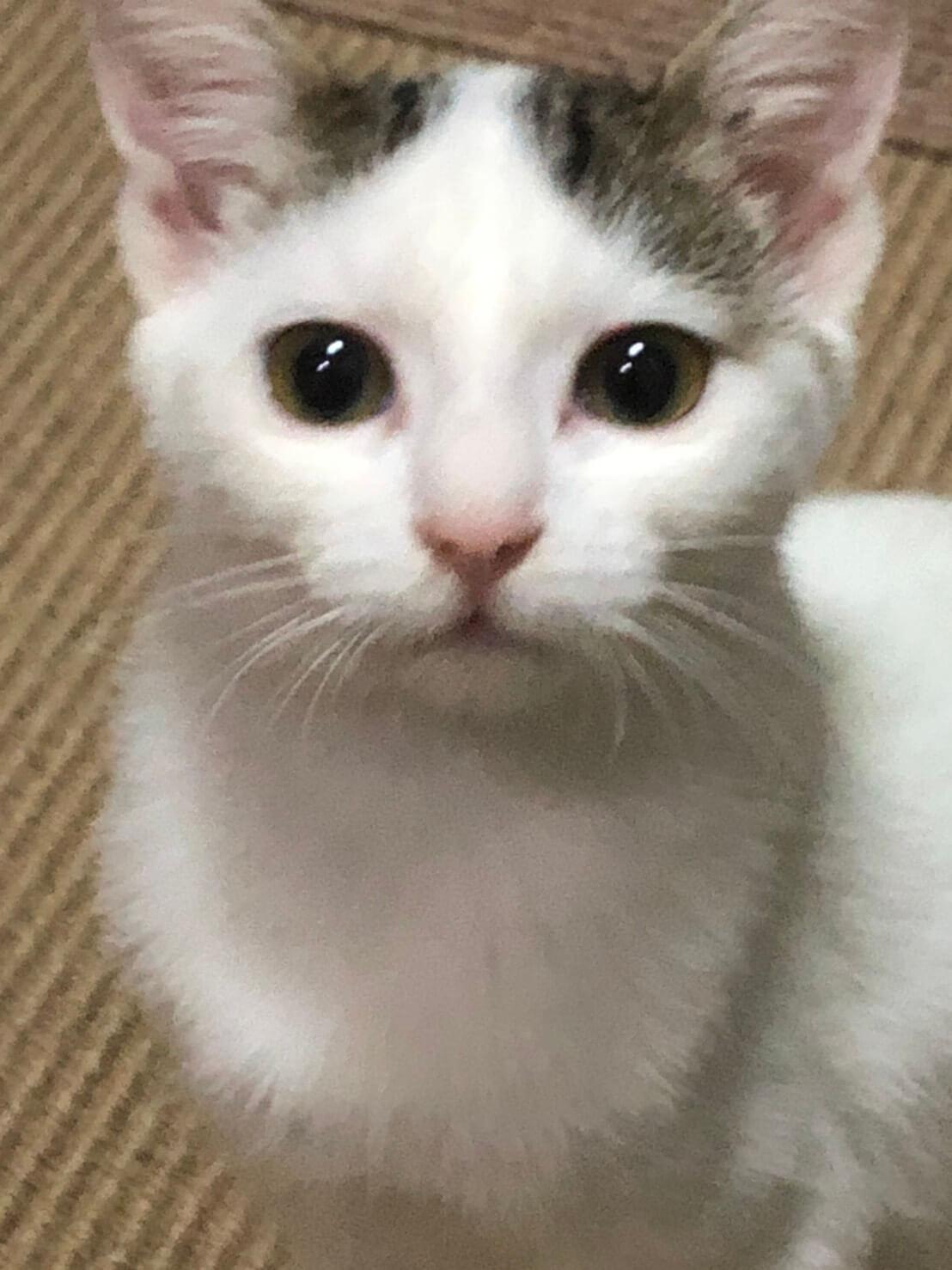 ハチワレのサバトラ白多め 3か月くらいの女の子