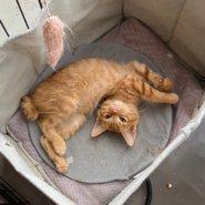 【保護猫】なずな♂推定2ヶ月茶トラ