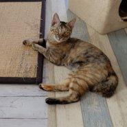 【保護猫】ジャスミン♀6ヶ月サビ猫