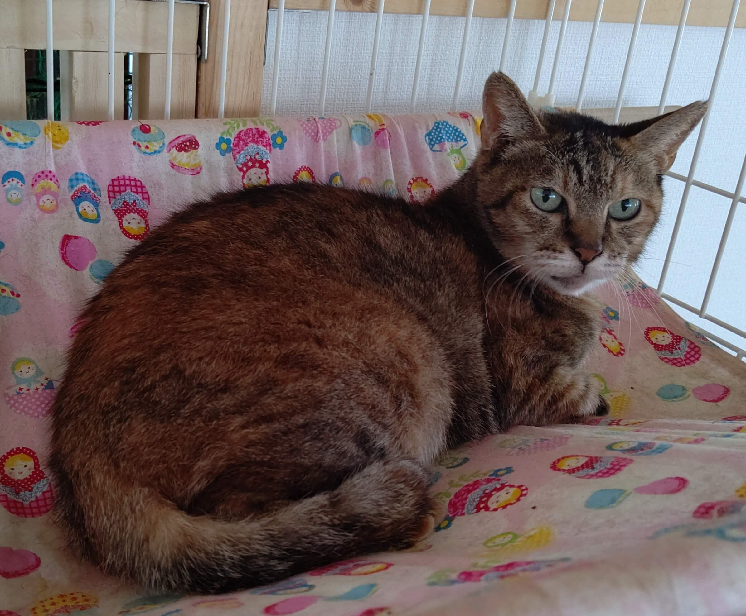 【保護猫】よもぎ♀推定7歳キジトラ