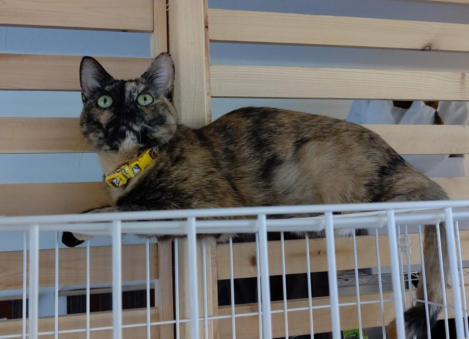 キャスパー推定2歳♀サビ猫