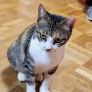 愛情深い三毛猫ハナちゃん♡子猫も同時募集!!