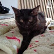 【保護猫】なな推定7ヶ月♀黒猫