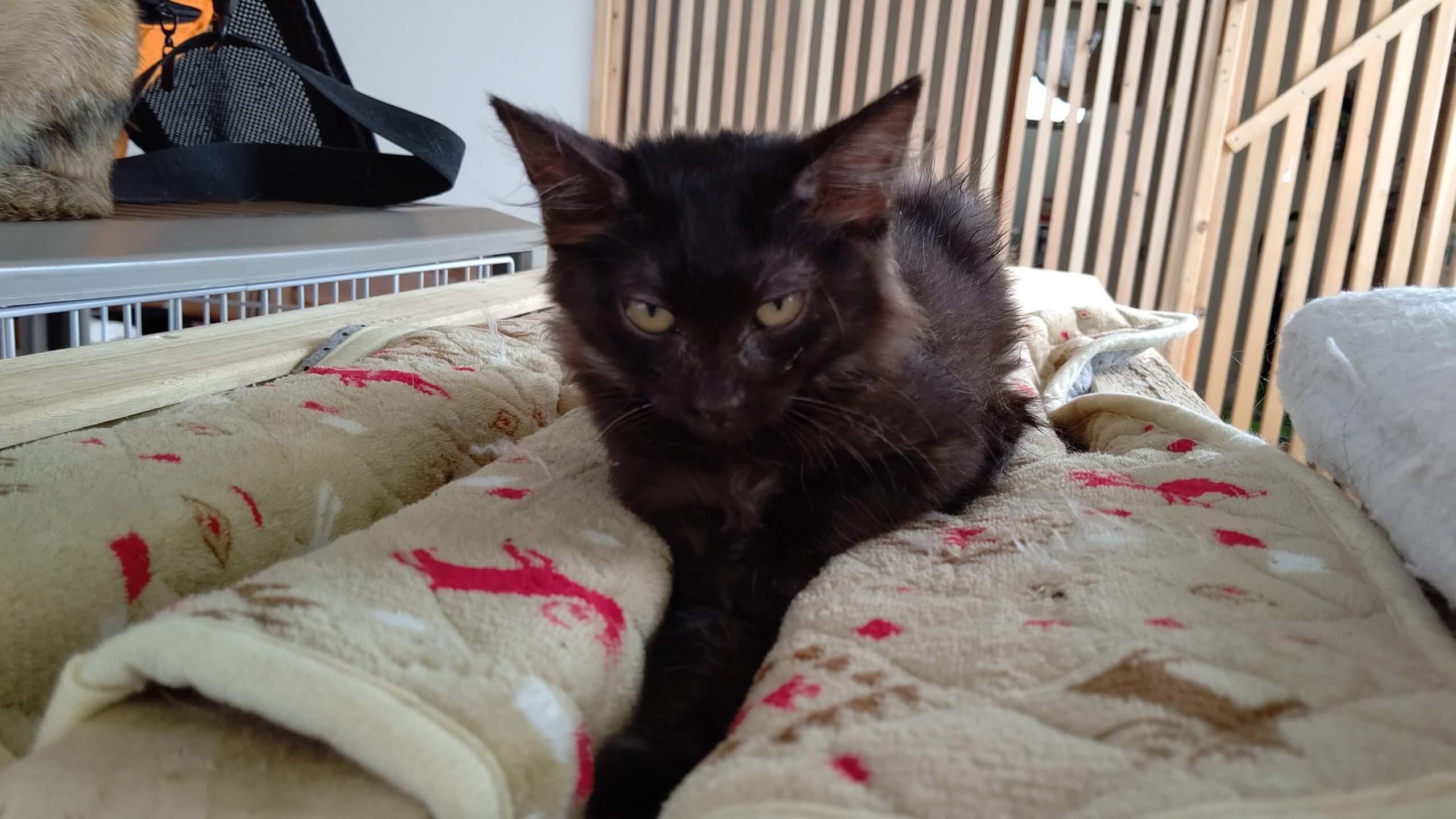 【保護猫】なな♀推定4ヶ月黒猫