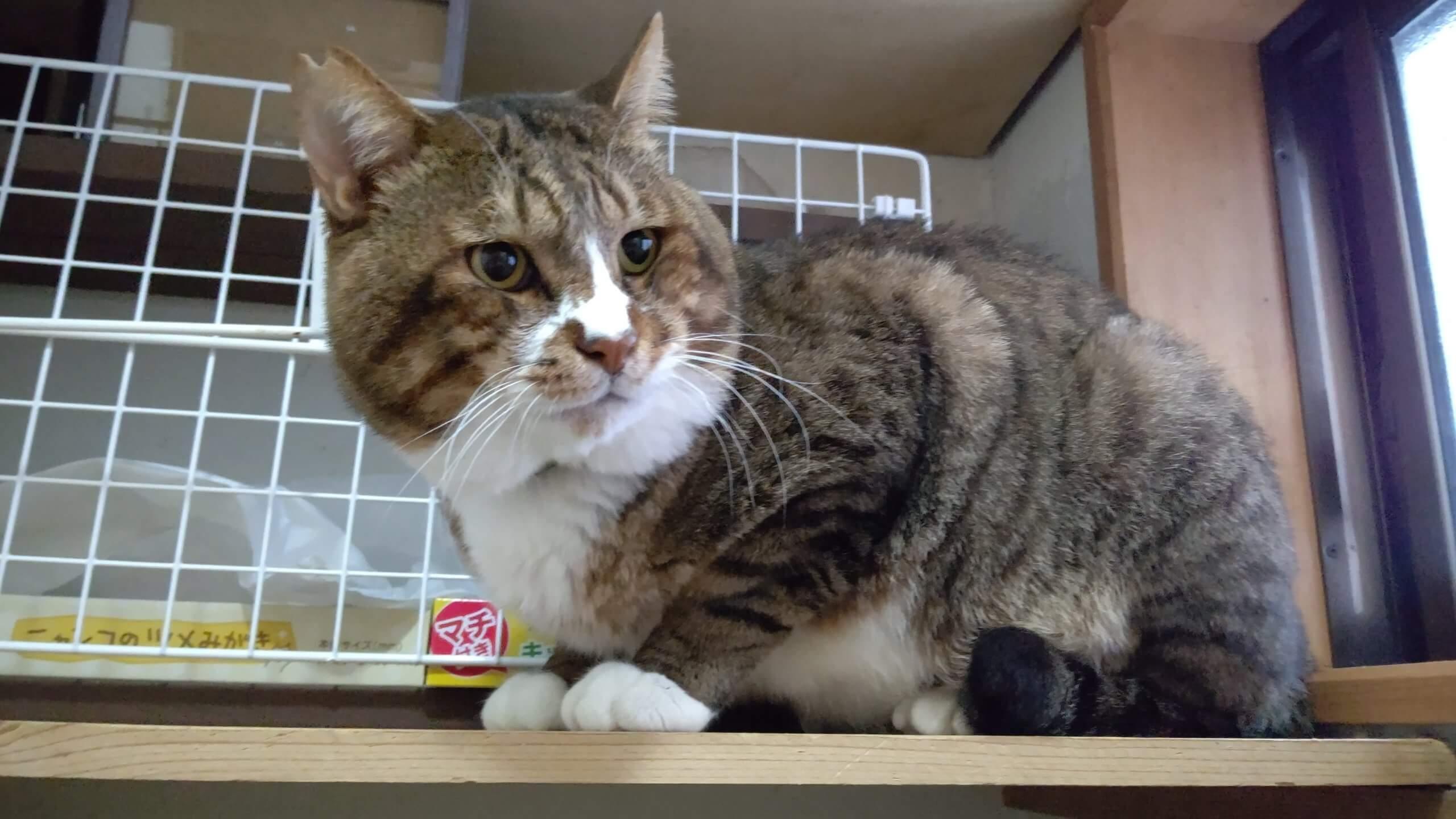 【保護猫】つしま♂推定10歳キジ白