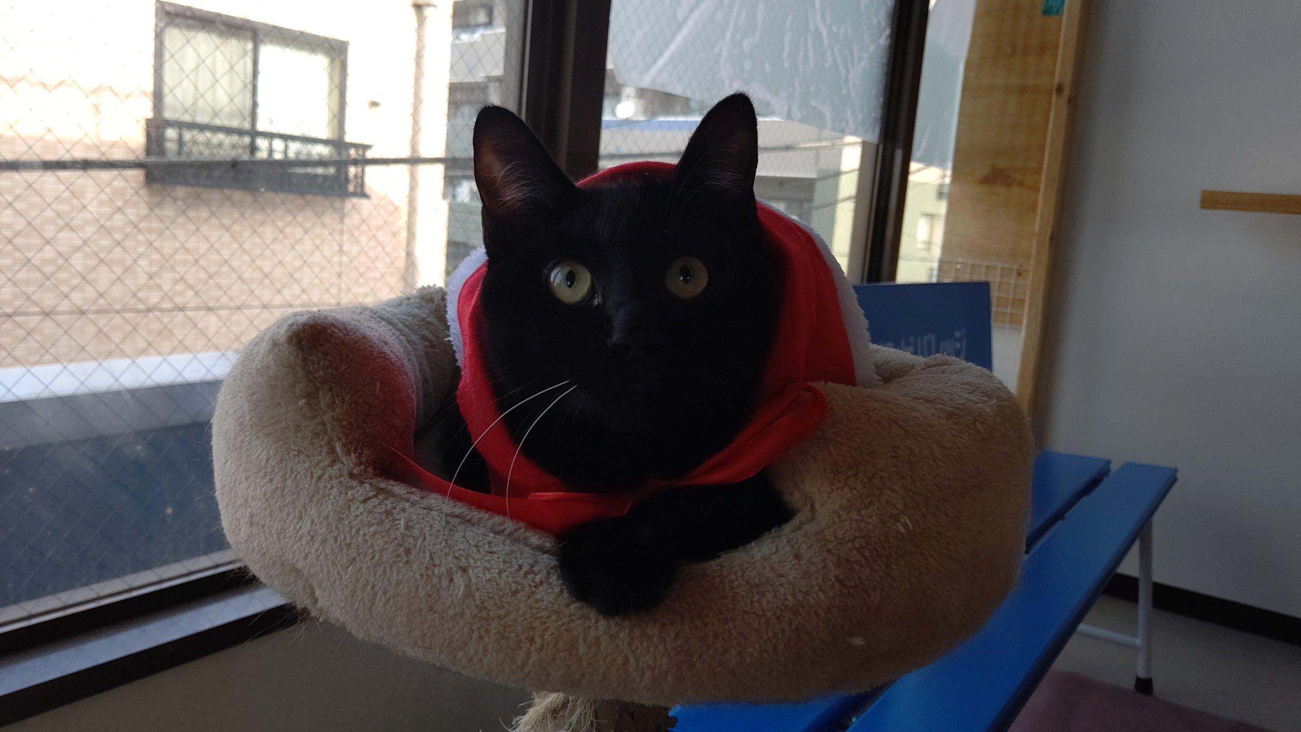【保護猫】もすけ推定9ヶ月♂黒猫