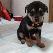 急募 可愛い保護犬「ルイくん」
