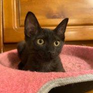 【保護猫】くま推定6ヶ月♀黒猫