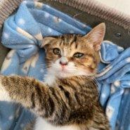 【保護猫】よつば♀推定4ヶ月キジトラ白
