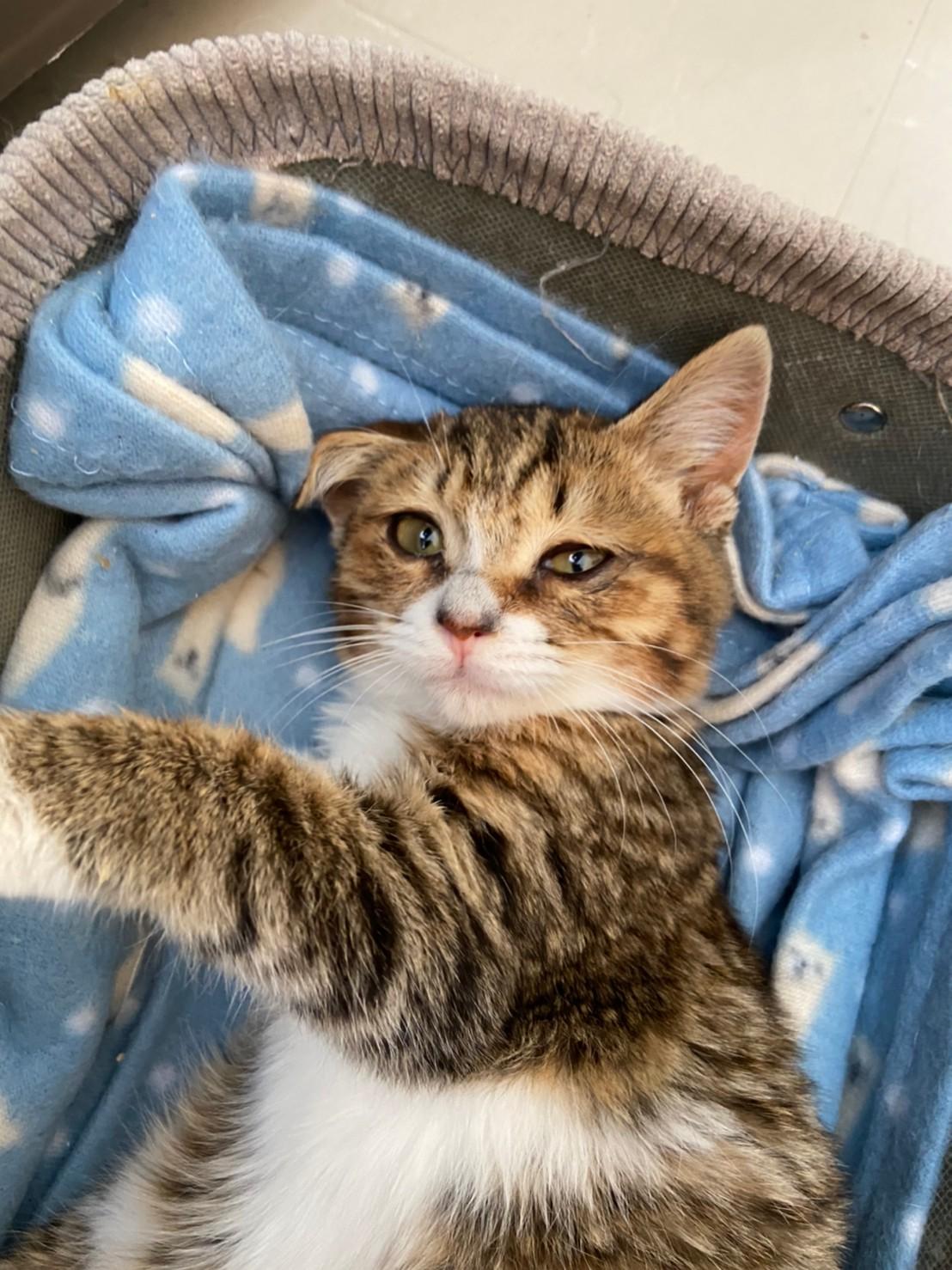 【保護猫】よつば推定6ヶ月♀キジトラ白