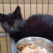 【保護猫】かいと推定6ヶ月♂黒猫