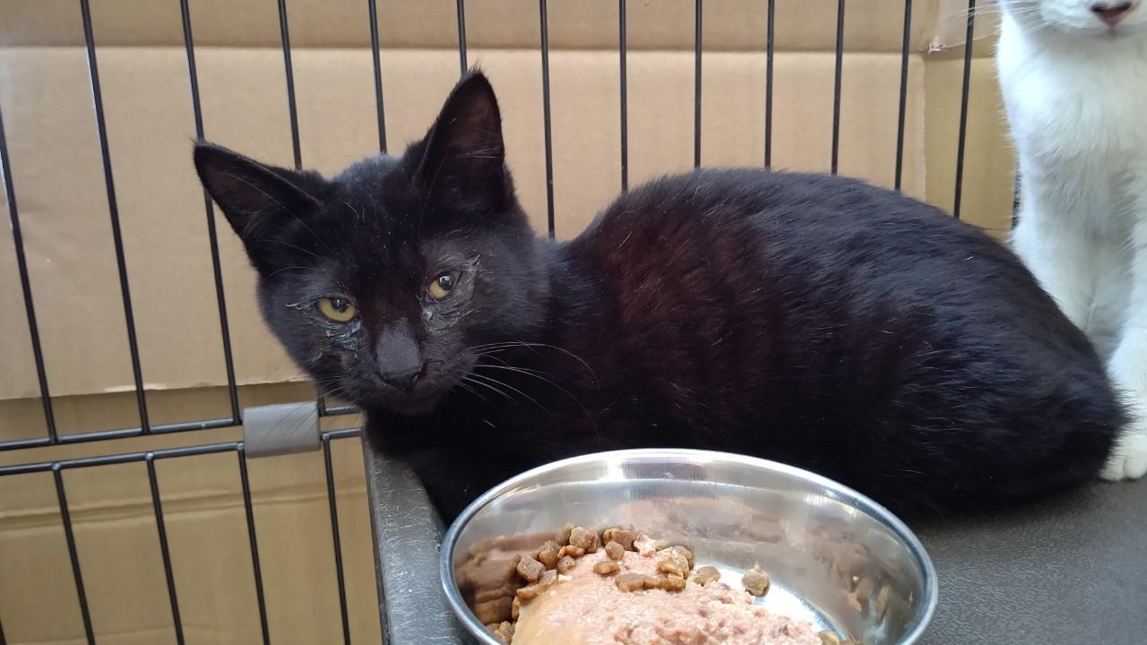 【保護猫】かいと推定5ヶ月♂黒猫