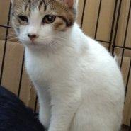 【保護猫】みち♀推定4ヶ月キジトラ白