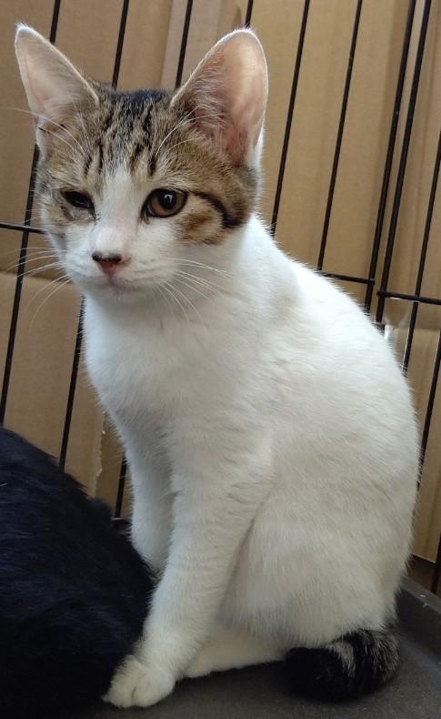 【保護猫】みち推定5ヶ月♀キジトラ白