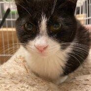 【保護猫】市(いち)推定6ヶ月♂ハチワレ