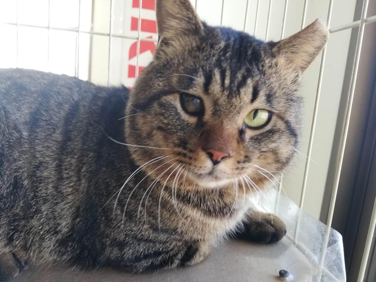 【保護猫】シャンクス推定3~5歳♂キジトラ