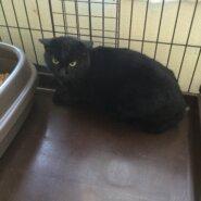【保護猫】ヤマト推定1歳♂黒猫